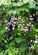 flower, clematis berries