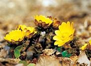 flower, adonis