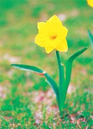 flower, Narcissus