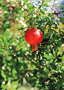 pomegranate hung on the boughs