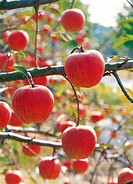 apples hung on the boughs