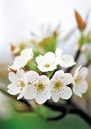 Japanese apricot flower