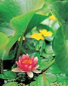 flower, lotus