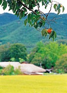persimmon hung on the boughs