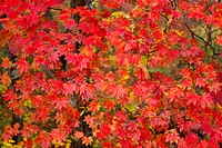 Autumnal red maple tree. Towada, Aomori Prefecture, Japan