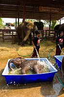 Baby elephants, Elephantstay Elephant village, Ayutthaya, near Bangkok, Thailand