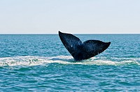 Grauwal Whale Watching