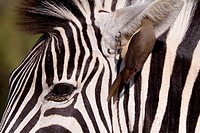Plains Zebra Equus Quagga and Red-billed oxpecker Buphagus Erythrorhynchus  Oxpecker removing bugs from inside the Zebra´s ear  A symbiotic relationsh...