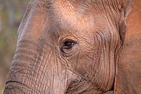 African Elephant Loxodonta Africana  Face detail  June 2009, winter  Balule Private Nature Reserve, York section  Greater Kruger National Park, Limpop...