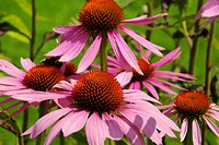 Sonnenhut Purpur _ Purple Coneflower 37
