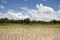 Reisfeld in Asien, Thailand