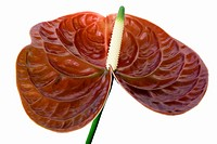 Scientific Name: Anthurium andraeanum Linden Family: Araceae