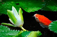 Orange and white koi Cyprinus Carpio swimming in an outdoor pond