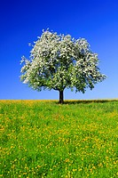 agrarian, apple, apple tree, apple tree blossom, flourish, tree, blossom, flourish, flower splendour, field, flora, spring, crowfoot, sky, pomes, agri...