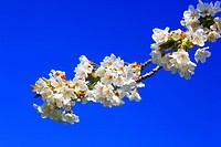 agrarian, apple, apple tree, apple tree blossom, flourish, tree, blossom, flourish, flower splendour, detail, field, spring, pomes, macro, Malus domes...