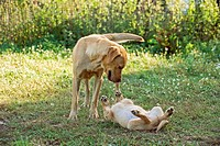 female Labrador Retriever dog and puppy on meadow