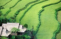Looking down on terraced rice paddies near Ubud, Bali, Indonesia  There is a balinese house next to the rice fields