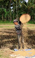 A woman working in the fields during rice harvest, near Ubud, Bali, Indonesia  To separate the rice grains from the husks, the rice is winnowed  To wi...