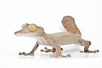 Leaf-tailed gecko, Uroplatus fimbriatus, Madagascar, on white background