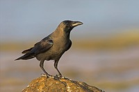 House Crow Corvus splendens sitting on a stone