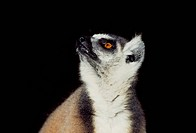 Portrait of a ring_tailed Lemur Lemur catta, Berenty, Southern Madagascar, Africa