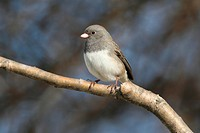 Junco On A Branch