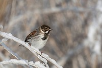 Reed Bunting Emberiza schoeniclus adult male, perched on snow covered stem, England, winter