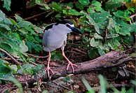 Black_crowned Night_heron Nycticorax nyctocorax adult, standing on low branch in woodland, Sabah, Borneo, Malaysia, january