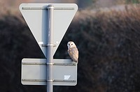 Barn Owl Tyto alba adult, perched on road sign, Norfolk, England, february