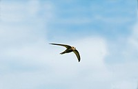 Pallid Swift Apus pallidus adult, vagrant, in flight, Merseyside, England