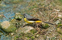 Grey Wagtail Montacilla cinerea adult male, summer plumage, standing on stone at edge of water, England