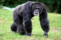 Chimpanzee Pan troglodytes adult male, ´knuckle walking´, captive