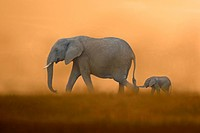 African Elephant Loxodonta africana mother with baby, walking, Masai Mara, Kenya Composite image