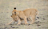 Lion Panthera leo two cubs, play_fighting, Masai Mara, Kenya