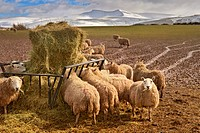 Domestic Sheep, flock, feeding on hay from feeder in muddy field, Penyfan in distance, Brecon Beacons, Wales, winter