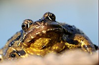 Common Frog Rana temporaria adult, close_up of head, Oxfordshire, England