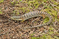 Southern Alligator Lizard Gerrhonotus multicarinata adult, San Jose, California, U S A