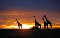 Sunset with giraffes, Masai Mara, Kenya