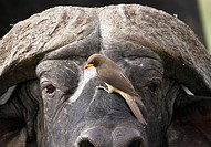 Buffalo and red oxpecker