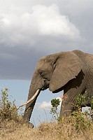 An African elephant on the plains of the Masai Mara low angle