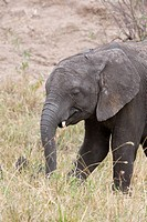 A baby African elephant on the plains of the Masai Mara