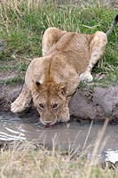 A lioness drinks water in a small watering hole in Kenya