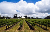 Southern Australia _ Milang Surroundings _ Vines