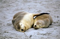Southern Australia _ Kangaroo Island _ Seal bay _ Sea Lions