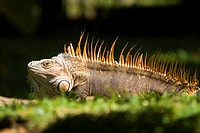 Green Iguana male in love _ Tortuguero