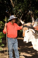 Cow at the hacienda Guachipelin