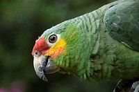Red-Lored Parrot (Amazona autumnalis), Chichicastenango, Guatemala