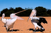 West _ Shark Bay _ Pelicans