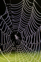 Spider web of an Araneid Spider with dew drops