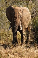 Old elephant bull coming out of the bush, African Elephant Loxodonta africana, Madikwe Game Reserve, South Africa